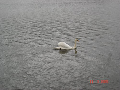 photograph of swan on water before using picasa, © www.BreastFeedingMums.com