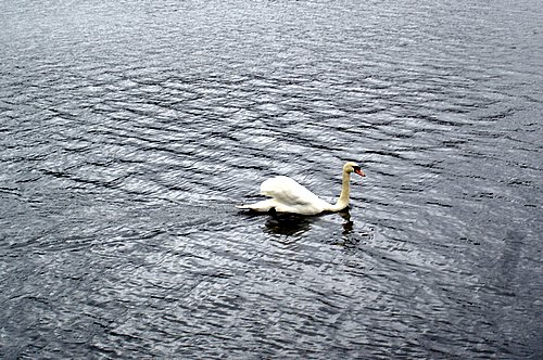 photograph of a swan on water after using picasa, © www.BreastFeedingMums.com